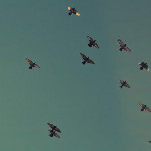 flock (1)