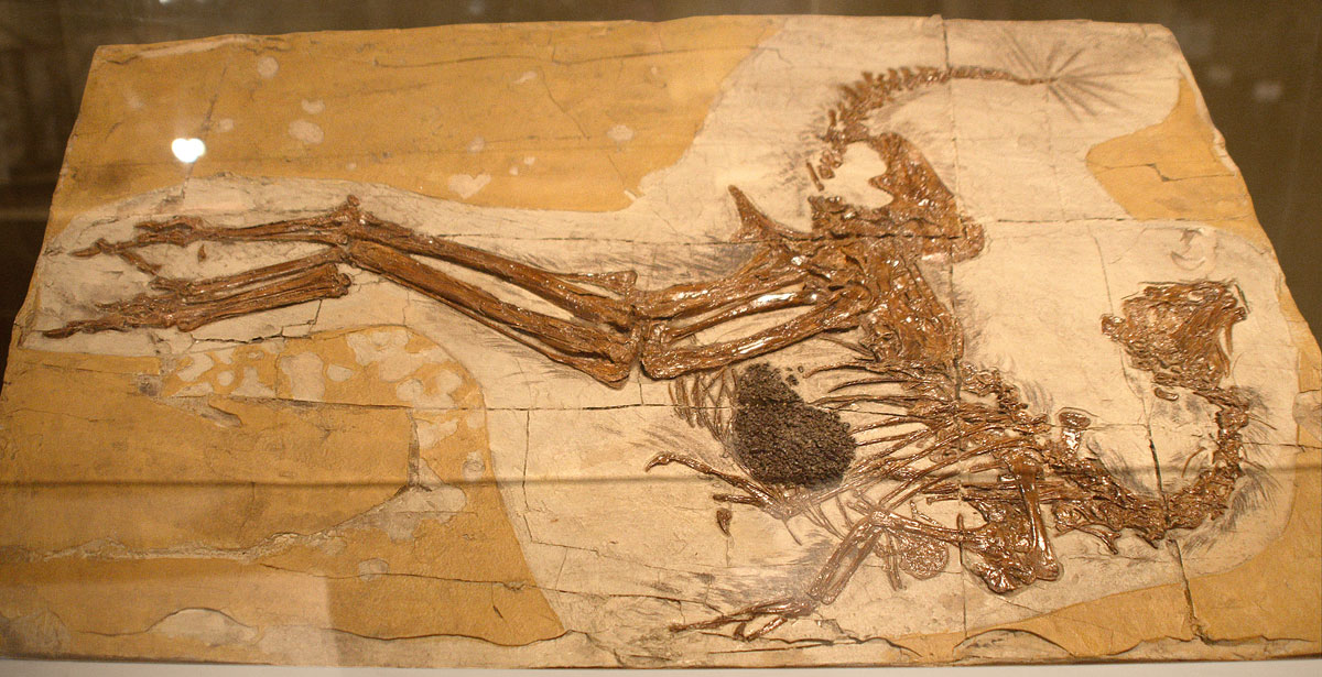 Caudipteryx_fossil; ancient bird with feathers