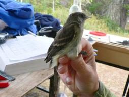 birdbanding
