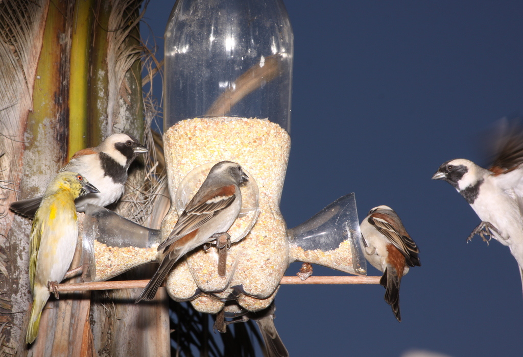 Bird Feeders and Feeding – Ornithology