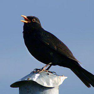 euroblackbird