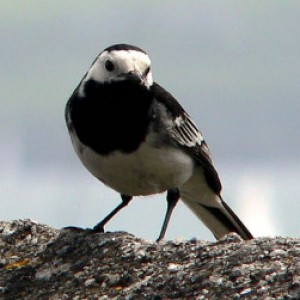 pied_wagtail birds