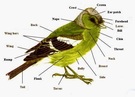 Bird External Anatomy – Ornithology