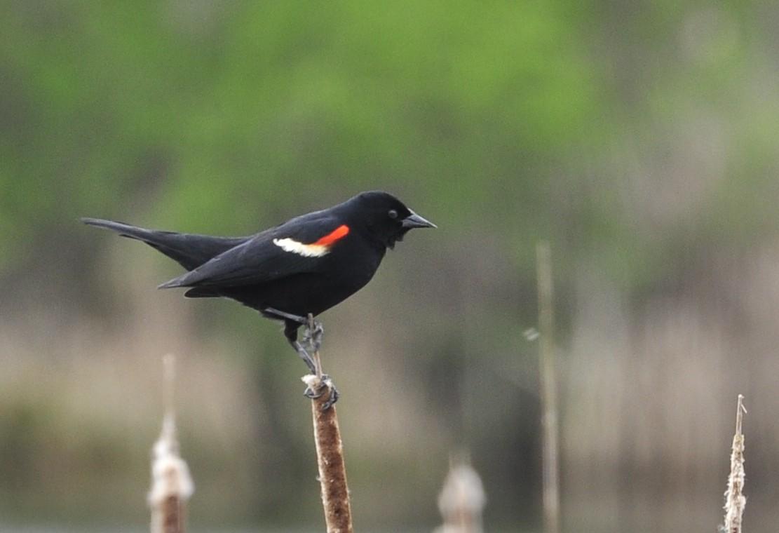 Red_Wing_Blackbird birds