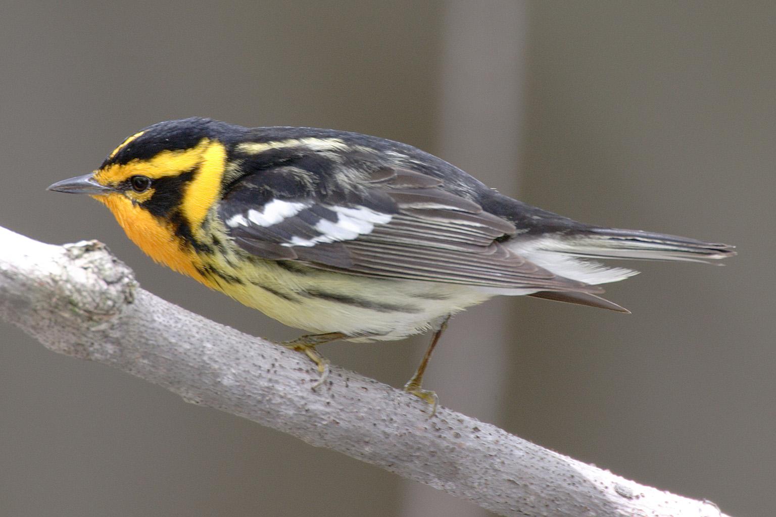Dendroica-fusca avian
