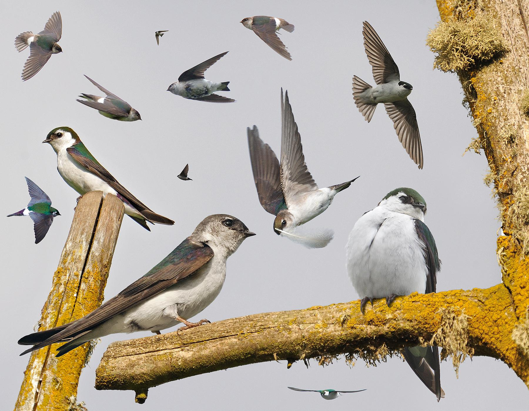 Violet-green_Swallow_From_The_Crossley_ID_Guide_Eastern_Birds