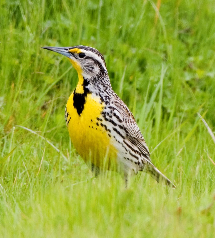 Western Meadowlark avian