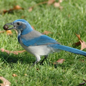 Western_Scrub_Jay_holding_an_Acorn_at_Waterfront_Park_in_Portland,_OR