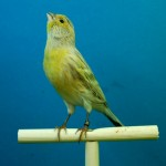 canaries-426284_640