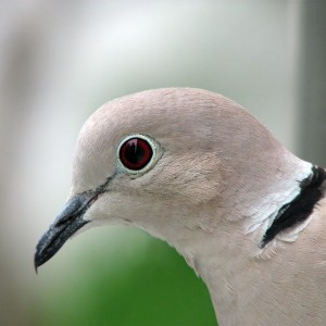 Collared_Dove_-upper_body_profile-8 bird
