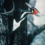 Ivory-billed_Woodpecker_by_Jerry_A._Payne