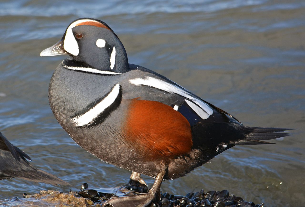 harlequin_duck_histrionicus_histrionicus_12918080305