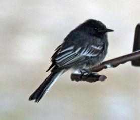 The Black Phoebe- one of the common birds of the west